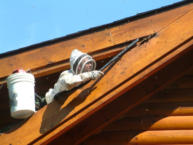 Joshua Lachmann Bee removal from roof - Honeybee Swarm Removal Directory