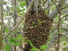 Honey bee swarm in tree