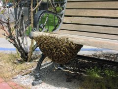 Honey Bee Swarm collects under a bench in Carson City